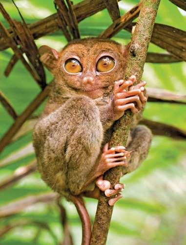 (Source: Britannica) Tarsiers can be any of six or more species of small leaping primates found only on various islands of Southeast Asia, including the Philippines. Tarsiers are intermediate in form between lemurs and monkeys, measuring only about 3.5–6 inches long, excluding a tail of about twice that length. Tarsiers are lemurlike in being nocturnal and having a well-developed sense of smell. However, like monkeys, apes, and humans, the nose is dry and hair-covered, not moist and bald as is that of lemurs. The eyes and placenta are also simiiform in structure. Did you ever meet one of these cute creatures?