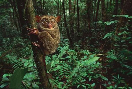The tarsier's small brain has an enormous visual cortex to process information from the large goggling eyes, the animal's most striking feature. The size of the eyes and visual cortex is probably made necessary by the absence of a reflective layer (tapetum) that the eyes of most other nocturnal mammals possess. The tarsier is also unusual in having especially long ankle bones (tarsals, hence the name tarsier), a short body, and a round head that can be rotated 180°. The face is short, with large, membranous ears that are almost constantly in motion. The fur is thick, silky, and coloured gray to dark brown. The tail is scaly on the underside like a rat's; in most species it has an edging or terminal brush of hair. Can you mention any other mammal that can rotate its head 180 degrees?