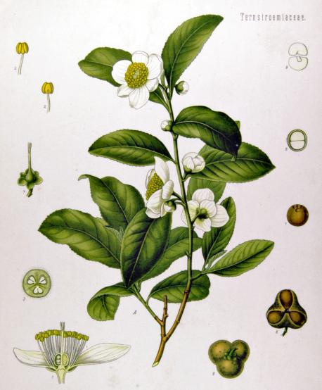 Did you know that all types of pure tea come from the same plant called Camellia sinensis? The level of oxidation that the leaves are exposed to is what determines whether a tea is white, green, oolong or black.