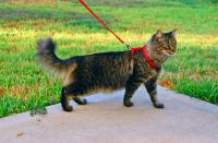 What do you think about walking cats on leashes?