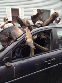 Have you ever hit a deer or moose when driving a car?
