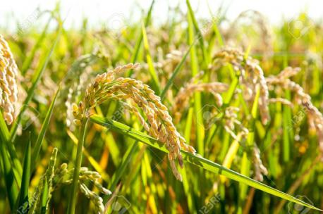 Did you know that Rice is an annual plant that is harvested only once a year?