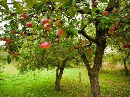Are you going to plant (or do you have) these fast growing fruit trees in your garden for this Spring/Summer?