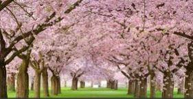 Have you ever seen Cherry Blossoms in bloom?