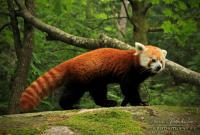Have you ever heard of a red panda?