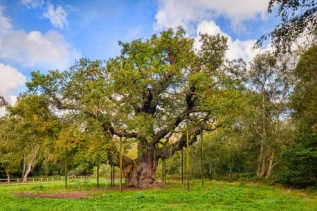 The Major Oak: Sherwood Forest, Nottinghamshire, United Kingdom - Between 800-1,000 years old. This tree is said to have once sheltered the legendary Robin Hood and his band of Merry Men. (Whether that's actually true is up for debate.) It is estimated to weigh over 50,000 pounds with a width of nearly 100 feet. The tree got its name after making an appearance in a book written by Major Heyman Rooke in 1790. After the book made its debut, people started calling the tree The Major's Oak, which was later shortened to Major Oak. To help preserve the tree's delicate ecosystem, caretakers erected fences to prevent visitors from compacting the soil and reducing the air space surrounding the roots. If you are planning to visit, be sure to check out the Major Oak Woodland and Robin Hood Festivals. Have you visited this site?