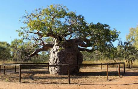 Boab Prison Tree: Derby, Australia - 1,500 years old. This tree was an important cultural site for native Aborigines. There is debate, however, as to what they actually used it for. Some say it served as a pilgrimage site or meeting place for gatherings. The tree has a hollow, bulbous trunk that is over 45 feet in width and an opening in the middle that allows entrance. It earned the nickname
