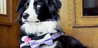 McKay said she had always wanted a Bernese Mountain Dog, but that her inspiration for raising a grief therapy dog came from someone a few years back. Melissa Unfred, a licensed mortician, owns and travels the country with her therapy dog, Kermit. In 2017, after extensive training, Kermit officially became Texas' first grief therapy dog. If you have ever been to a funeral for a loved one, do you think a therapy dog would have helped you deal with your grief?