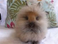 Do you, personally, think lionheads are cute?