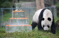 This week Pan Pan, the world's oldest Panda Bear turned thirty. Pan Pan, born in 1985, lives in Wolong National Nature Reserve in the Shichuan province in China. His caretakers at the Conservation and Research Center made him a huge cake with shredded carrots over top. Were you aware that Pandas can live to this age?