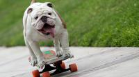 Otto managed to skate through the 60 pairs of open legs of 30 humans. If you have a pet, can it do any tricks?