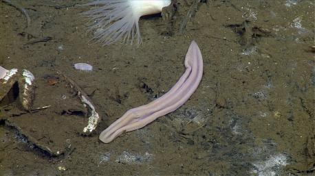 *KTLA* The very simple creature, Xenoturbella, has no brain, gills, eyes, or reproductive organs, and only one opening through which food goes in and waste goes out. And although the animal was first described in 1949, its peculiar biology left scientists baffled for decades.
