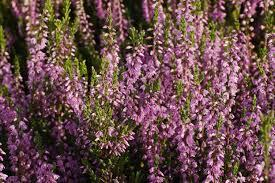 If you've seen Wuthering Heights, there are several references throughout the movie regarding heather (flowers). If you've seen the movie, did you like it?