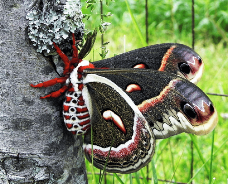 Cecropia moths are the biggest moths in the world. Would you be willing to hold one?