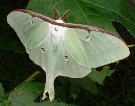 The luna moth is one of the most well-known moth species. Do you think it's a pretty animal?