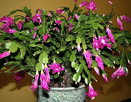 if you own a christmas cactus is it starting to bloom - How To Make A Christmas Cactus Bloom