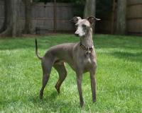 Have you heard of Italian Greyhounds? They look just like Greyhounds but are only 12-15 pounds and very tiny.