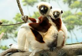 Have you heard about animal called Sifaka?