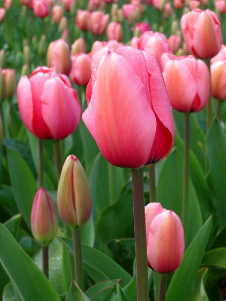 I planted tulip bulbs, what kind of bulbs did you plant?