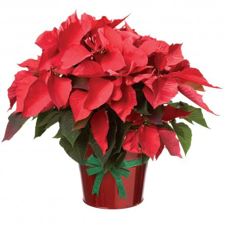 Poinsettia's come in a variety of colors, have you bought one yet?