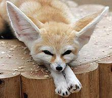 Were you aware that the Fennec Fox is the smallest of all foxes, weighing under 3 pounds?