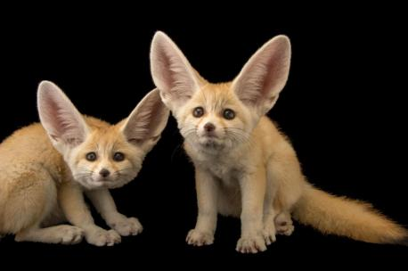 Did you also know that the Fennec Fox' s paws are covered in fur? This in order to help protect them against the scorching desert sand.