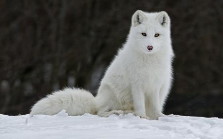 As for the Arctic Fox, were you aware that it doesn't get cold unless temperatures reach -94 degrees Fahrenheit?