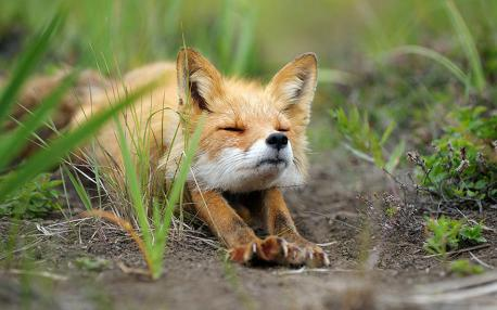 Were you familiar with the fact that the fox is the only other animal that can retract its nails, much like a cat does? (Image by: Igor Shpilenok)