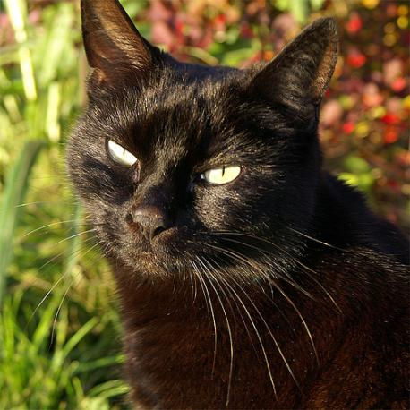 How open would you be to owning a black cat?