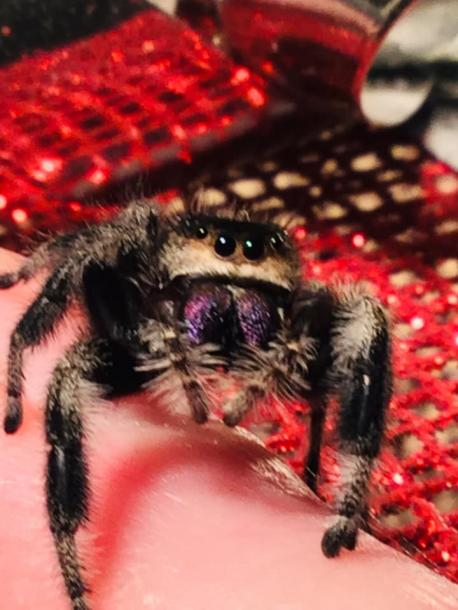 How open would you be in owning a spider (tarantula, regal jumping spider, etc)?