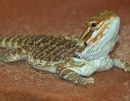 How open would you be to owning a bearded dragon?