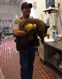 An officer from Colorado Parks and Wildlife tranquilized and inspected the cub and found it had a broken foot. Officers think she was hit by a car. She will be taken to a rehabilitation facility and released once she recovers. Have you seen an increase of wildlife in your area?