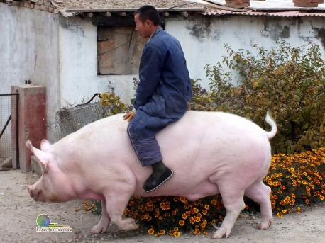 Zhang Xianping, a pig breeder from Zhangjiakou, China, decided to keep his beloved 2 year old pig for a pet instead of killing it. As of Nov 2nd, the pig weighed in at 1,322 pounds. Have you ever had a pig for a pet?