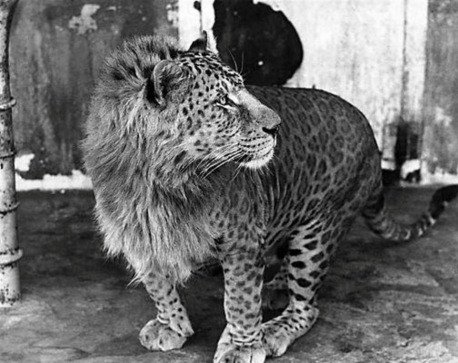 Male Leopard + Female Lion = Leopon