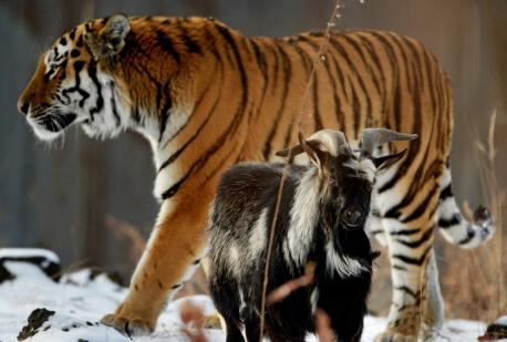 Meet Amur the tiger and Timur the goat. An odd and remarkable thing happened when a live goat was put into the enclosure of a Siberian tiger as part of its twice-a-week feeding of live animals at the Primorsky Safari Park in Russia: Amur the tiger became friends with its dinner. Does this surprise you?