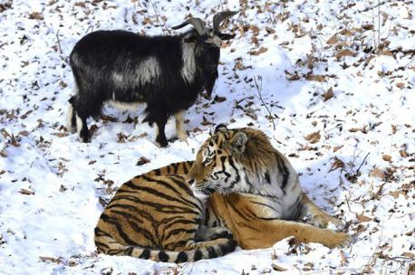 Unfortunately, Novosibirsk zoo director, Rostislav Shilo, said there was an 80 to 85 percent chance of that the Siberian tiger would eventually eat the goat. Would this prevent you from wanting to learn more about this friendship?