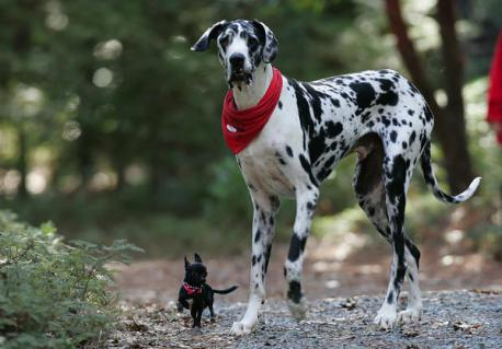 Gibson - Winning the title of the World's Tallest Dog wasn't difficult for Gibson, who stands at 7 feet tall. Gibson weighs about 170 pounds and is a Harlequin Great Dane. Have you ever had a dog for a pet?