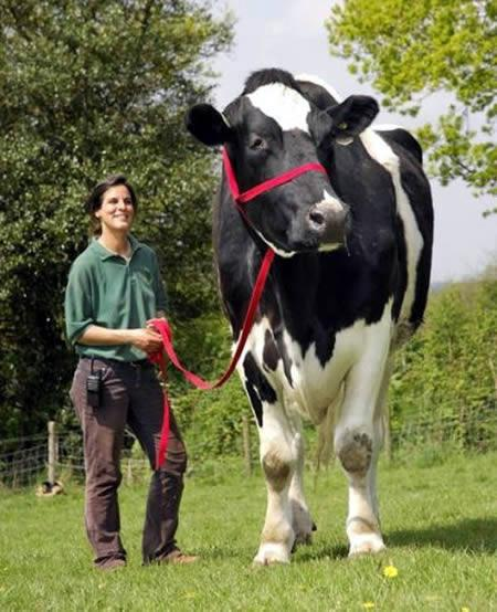 Chilli - This gentle, yet massive, cow stands at 6 feet, 6 inches and weighs over a ton. Chilli's diet consists on nibbling on grass and the occasional suede. Have you ever had a cow for a pet?