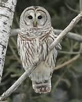 Are you familiar with the news story from last January and February of the aggressive barred owl that attacked local residents from Salem, Oregon?