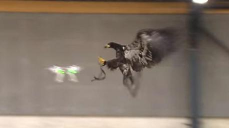 A drone that crashed onto the White House grounds last year highlighted the growing security threat posed by small UAVs. The White House incident came less than two weeks after a drone flew over the French presidential palace in Paris. Police in Holland are touting a unique anti-drone weapon – a specially trained eagle. The Dutch National Police have trained an eagle to take down Unmanned Aerial Vehicles. They say an eagle solves the problem entirely. With razor sharp talons, the predator can easily capture and hold on to any prey, be it a fish, rodent, bird, or in this case, a drone. Though drones usually have multiple small rotary propellers, the eagle appears trained at carefully avoiding them and still capturing them, rendering any UAV incapacitated and immobile. Moreover, eagles have powerful toes, which are strong enough grip and carry heavy objects. Eagles regularly target large animals like sheep. Hence a drone could be a tricky, but relatively light prey. If a drone attacks another drone and becomes unable to fly it will plummet to the ground, possibly injuring the unfortunate soul below who merely happened to be at the wrong place at the wrong time. Another similar risk is that the drone is merely knocked out of the sky or goes completely haywire, causing a lot of damage, depending on where it goes or lands. The law enforcement officials think using the eagles is a safer technique as compared to using a drone to catch other drones. Do you agree?