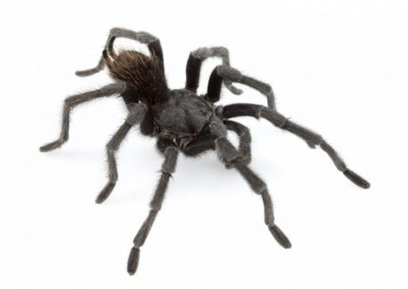 A study published Thursday in ZooKeys announced the discovery of a staggering 14 new species of tarantula. 14!!! One of the new species is named Aphonopelma johnnycashi and clearly has the best name of the new bunch.