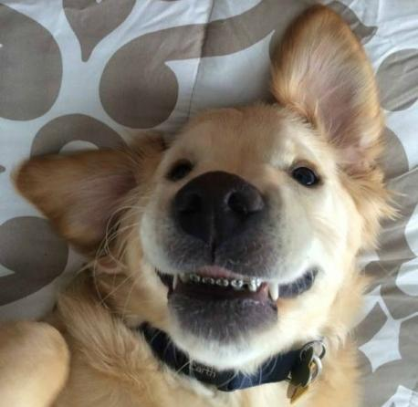 Wesley is a 6-month old Golden Retriever that has braces. He lives a few towns to the North of me and has become an internet sensation. Pictures of the pup have been shared more than 283,000 times. They were even on