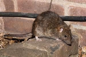 The city's rat population is dominated by the brown rat (also known as the Norway rat). The average adult brown rat is 16 to 20 inches long and weighs 1 to 2 pounds. The adult rat can squeeze through holes or gaps the size of a quarter, leap 4 feet laterally, survive a five-story drop, and tread water for three days. Each litter has up to a dozen kittens (in Europe a baby rat is called a kitten, in North America they are called pups). Rats can mate at the age of two or three months and produce a new litter every two months. They live about a year. Are you afraid of rats?
