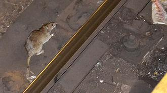 Lets face it - New York City is known for having a lot of rats. For a long time, the exact number of rats in New York City was unknown, and a common urban legend was that there were up to four times as many rats as people. In 2014, however, scientists more accurately measured the entire city's population to be approximately only 25% of the number of humans; i.e., there were approximately 2 million rats to New York's 8.4 million people at the time of the study. Have you ever had a rat for a pet?