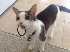 Have you ever seen a cat walking around, meowing, with a toy or another random object in their mouth? In the comments: Do you have any stories about animals doing silly things? If so, please post in the comments.