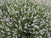 Lavenders mainly have purple flowers but have you ever seen white lavender?
