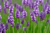 Do you have lavender in your yard?
